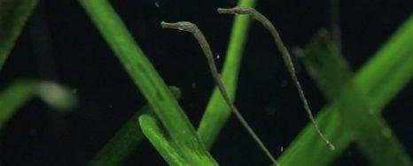 Juveniles de Syngnathus (Foto: M.E. Gracía Blanco)