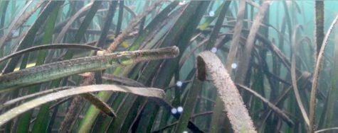 Syngnathus typhle (Foto: M.E. García Blanco)