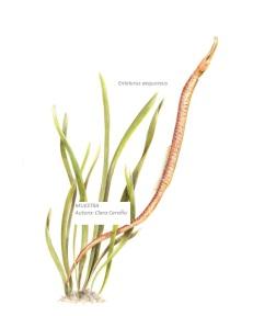 E. aequoreus_TErminado retocado sin fondo_087