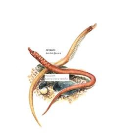 N. lumbiciformis. RetocadoSinFondo_090