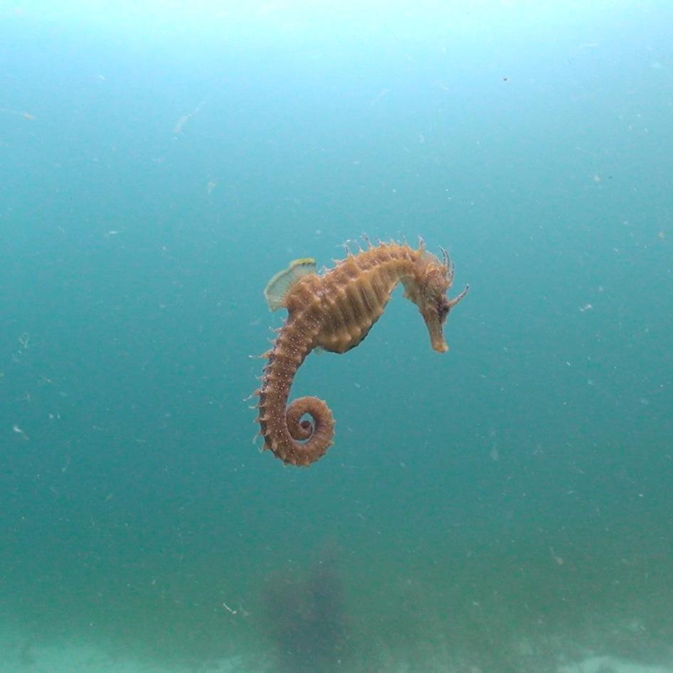 Hippocampus guttulatus2