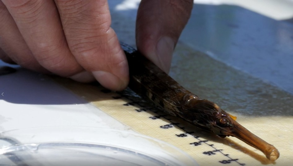 Syngnathus acus medida