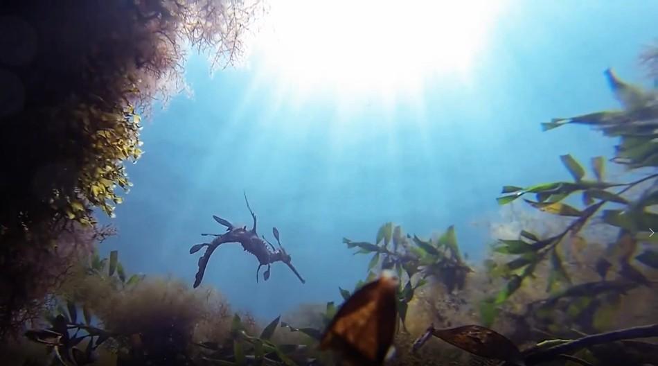 Phyllopteryx taeniolatus2